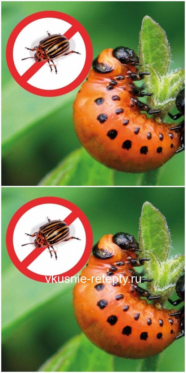 Девять способов борьбы с колорадским жуком
